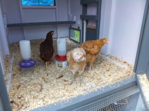 Heritage breed chickens: Ameraucana, Rhode Island Red, Buff Orpington